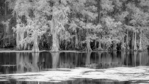Far shore Cypress | by Ed Rosack
