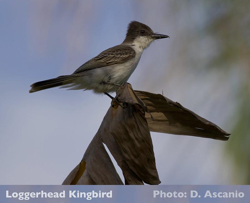 Loggerhead Kingbird, Ascanio_199A5371