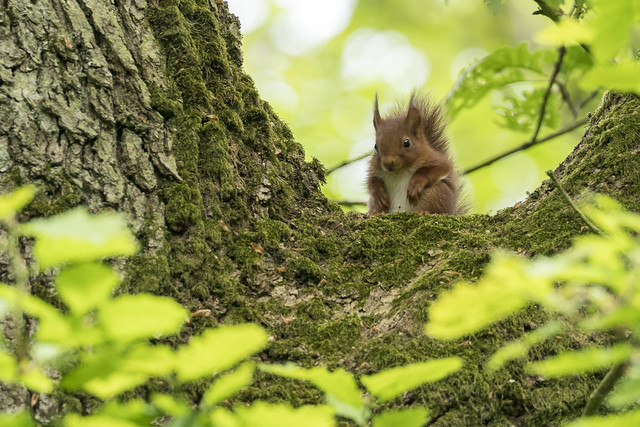 Young red squrrel in the wild
