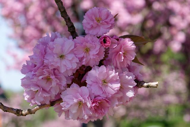 Fleurs de cerisier du Japon avenue Charles-Albert à Watermael-Boitsfort