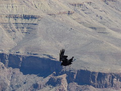 Grand Canyon - South Kaibab Trail, raven at Skeleton Point (3)