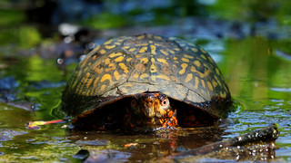 Eastern box turtle (Terrapene carolina carolina) | by phl_with_a_camera1