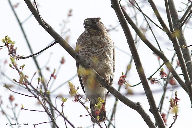 1.02853 Petite Buse / Buteo platypterus platypterus / Broad-winged Hawk
