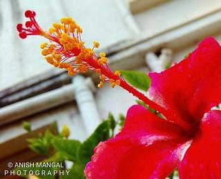 Hibiscus ....