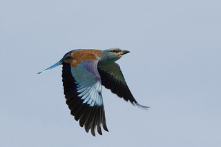 European Roller | by Chris B@rlow