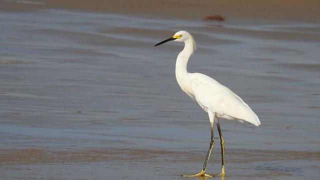 Garça-branca-pequena - Snowy Egret