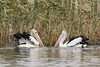 Pelicans 2018-04-23 (5D_182A5993) by ajhaysom