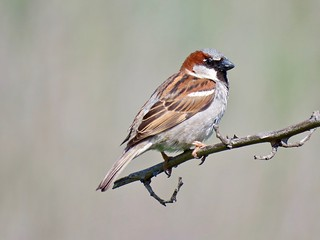 One of the House Sparrow Gang | by morroelsie
