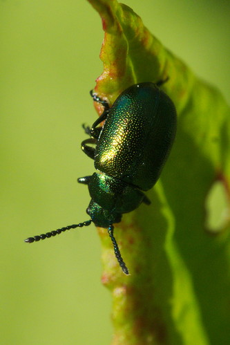 A green insect on a green leaf with a green background. Green enough? | by John Spooner