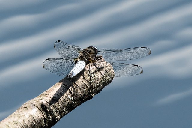Season of the Scarce Chaser