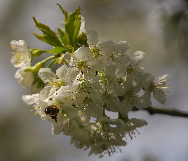 Bees and blossom [PK1_4607 c-l-s]