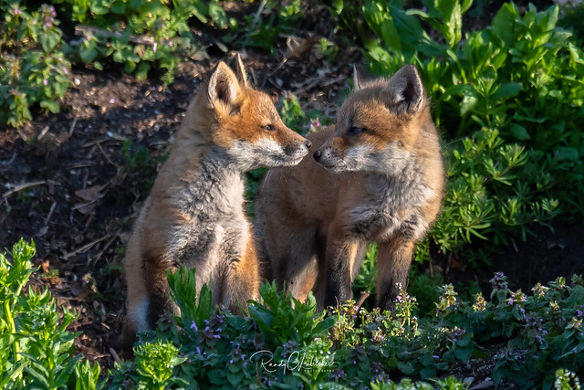 Red Fox - Vulpes vulpes | 2018 - 4