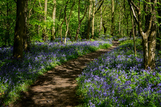 Bluebell path near Chesterfield, Derbyshire
