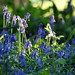 Close Bluebells, University of Kent, Canterbury campus, Spring 2018