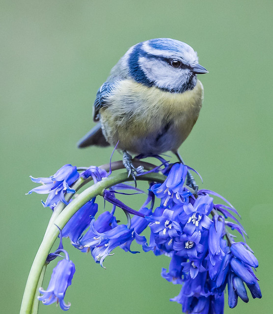 Blue tit on bluebell