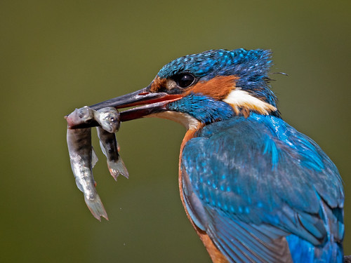 Kingfisher with Two fish   by Richard Towell
