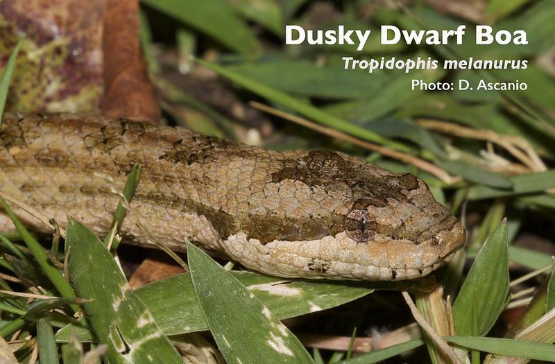 Dusky Dwarf Boa, Tropidophis melanurus_ 199A0625