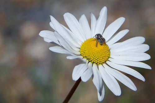 colorado us flower wildflower bee mountfalcon park oxeyedaisy leucanthemumvulgare simple nature