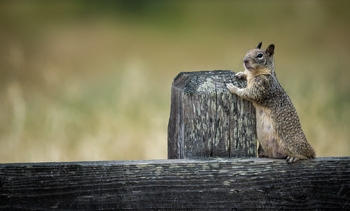 Pregnant California Ground Squirrel (Otospermophilus beecheyi) leaning against a fence post | by Wade Tregaskis