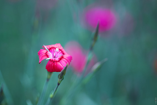 RUS62768(Beauty of Flowers. Carnation)