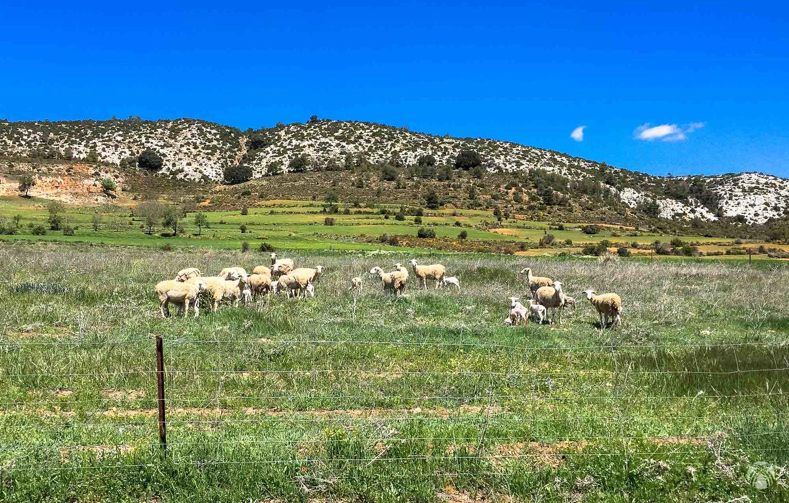 Corderos en la sierra de Huebras