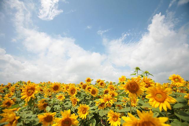 b794e2b9121fd7 sunflower garden | by nakae sunflower garden | by nakae