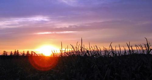 trees sunset orange yellow corn country flare wingham