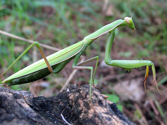 Praying mantis and a tiny friend
