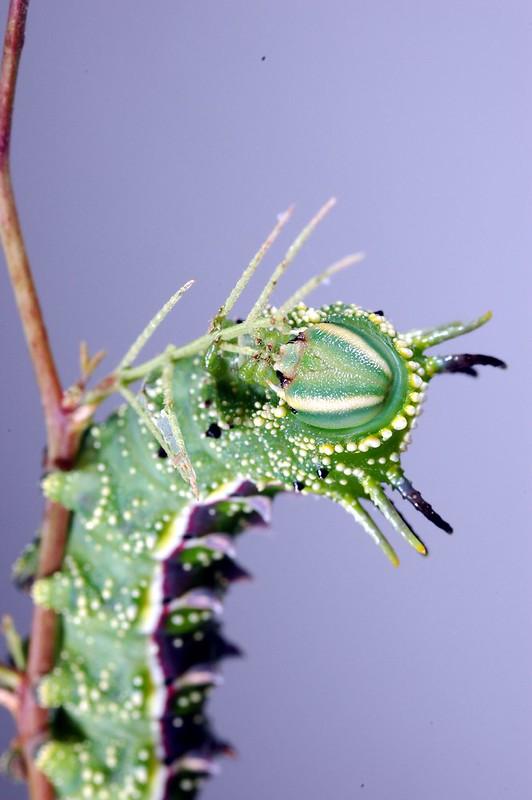 Hubbard's Small Silkmoth Catapillar-Sphingicampa hubbardi