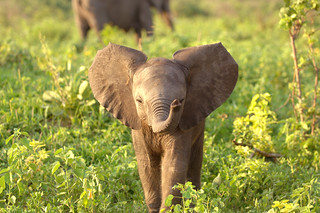 Curious Elephant Baby | by Morten Skovgaard