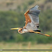 Purple Heron - Photo (c) Imran Shah, some rights reserved (CC BY-SA)