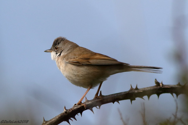 Whitethroat (Explored) :)