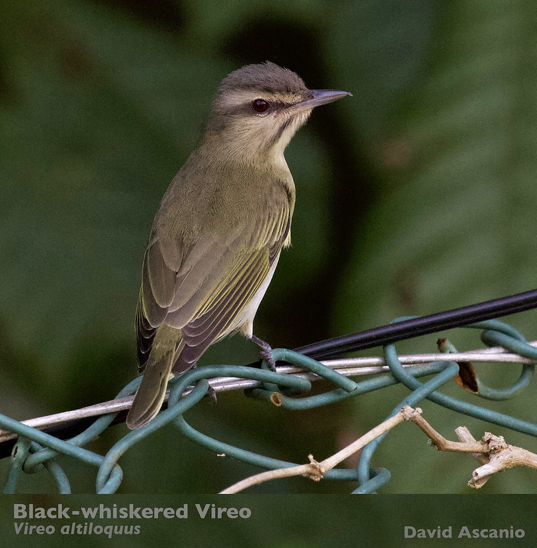 Black-whiskered Vireo, Vireo altiloquus_199A5340