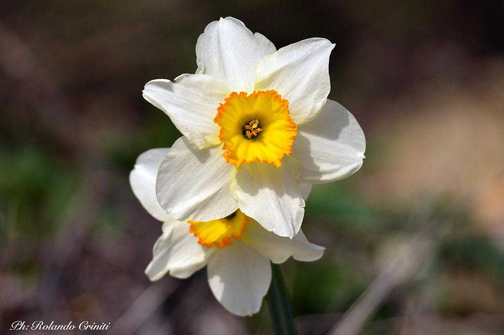 Fiori Narcisi.Fiore 106 Narciso Spontaneo Narciso Spontaneo Sul Passo D Flickr
