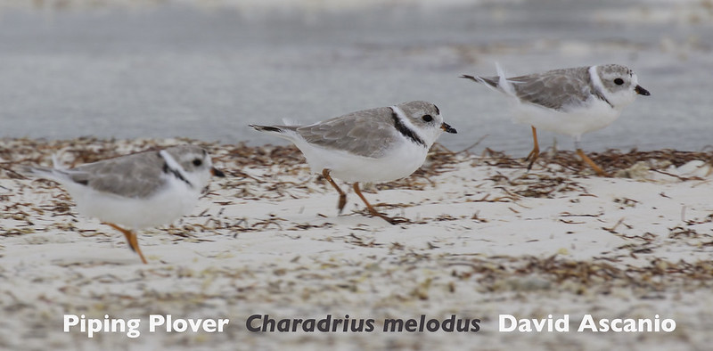 Piping Plover, Charadrius melodus_199A1309