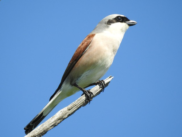 Red-backed Shrike ♂ (Lanius collurio)