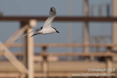 Gull-Billed Tern   by Bothering Birds