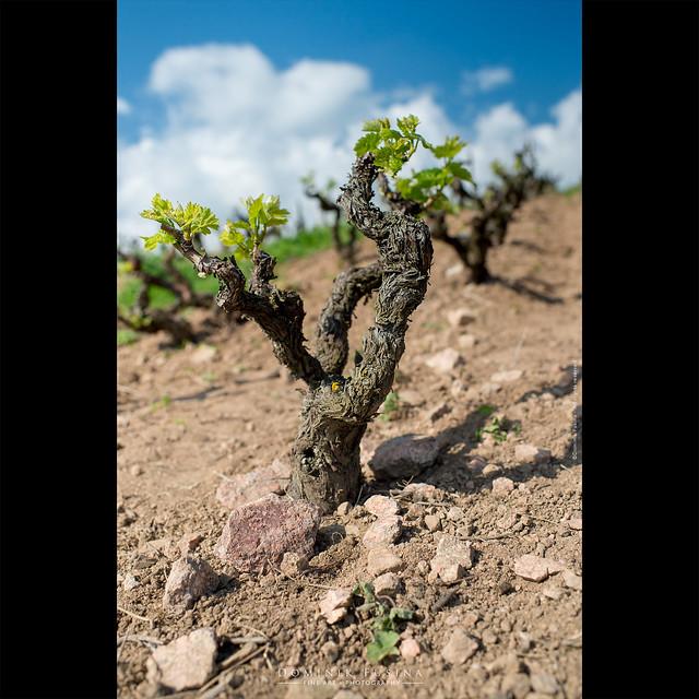 L'éveil de la vigne | Beaujolais
