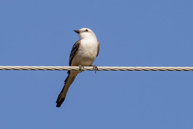 Scissor-tail Flycatcher  (1 of 3)