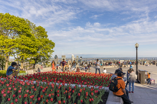 Tulipes sur le mont Royal