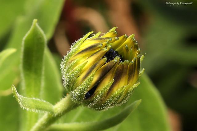 Baby daisy 0693 s