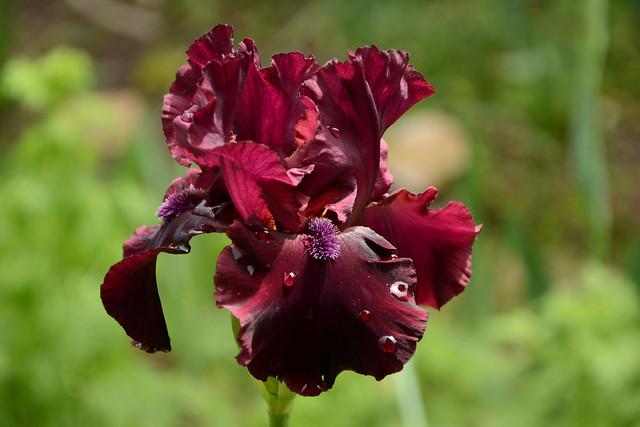 Iris 'Rio Rojo' - Schreiner 2009 27020842217_449c0dec3f_z