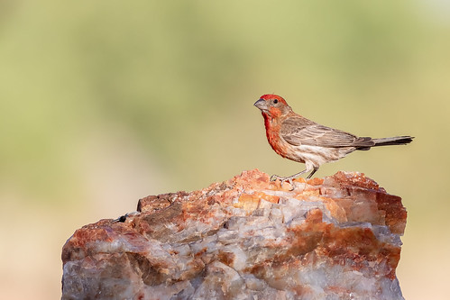 bokeh landscape explored canon ngc tucson 5dmarkiv feather granite wildlife rock male flickrexplore bird naturetop housefinch arizona eos perched animal