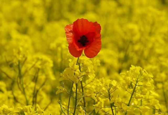 one poppy in a rapeseed field (4)