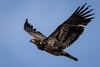 Juvenile Bald Eagle by jrp76
