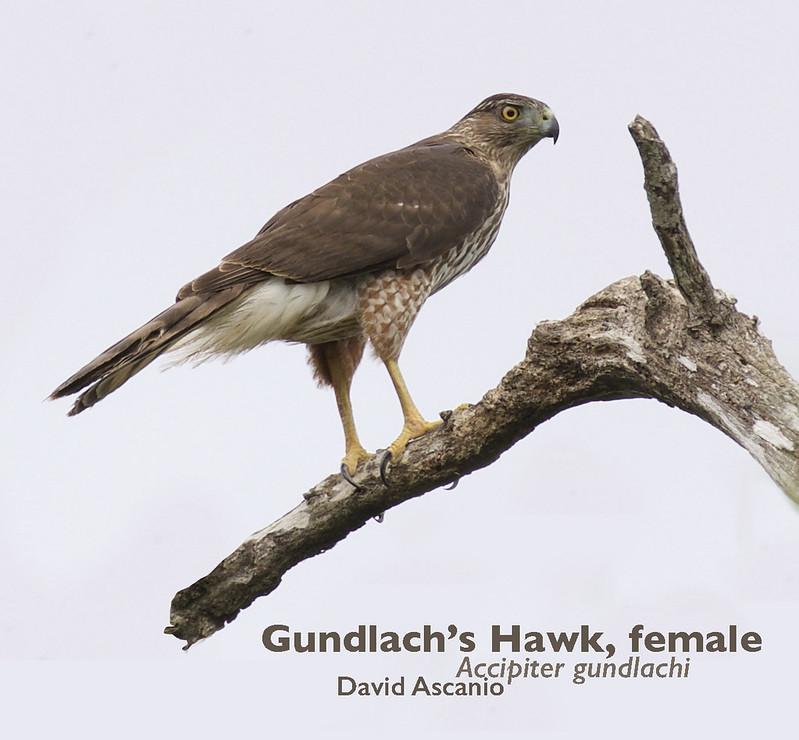Gundlach's Hawk, Accipiter gundlachi_199A3740