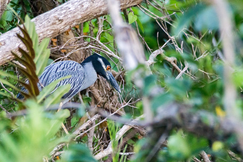 Yaboa - Yellow-crowned Night Heron (Nyctanassa violacea) | by Issai Campos