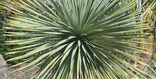 yucca | by Torquay Palms