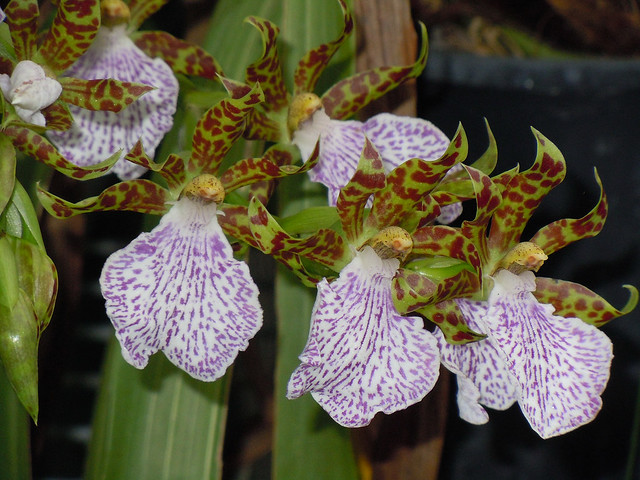 Zygo Orchid
