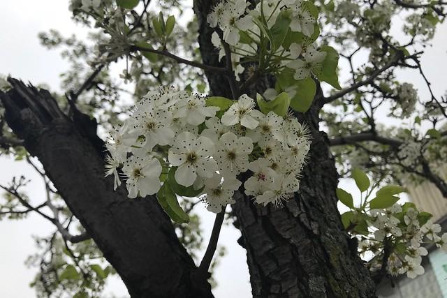 金, 2018-04-27 14:29 - Callery Pear カラリーペア